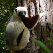 Indri Indri - Emblematic lemur of the island.